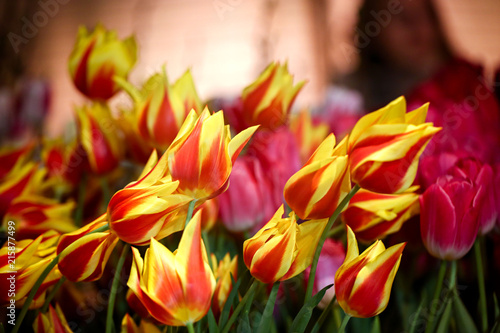 Fotobehang Tulpen yellow-pink tulips close-up