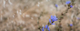 Wild cornflowers on the oats field, banner, selective focus