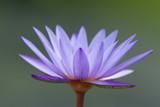 Purple waterlily on gray background
