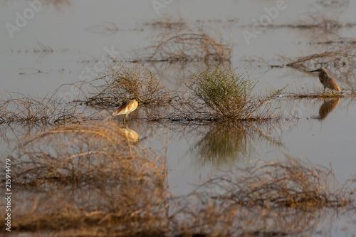 Fotobehang Donkergrijs squacco heron