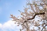Cherry blossoms of Seto Inland Sea (at Mt. Shiude in Mitoyo city),Kagawa,Shikoku,Japan - 215920460