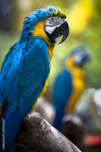 Foto Spatwand Papegaai Tropical exotic macaw parrot bird with bright vivid colorful feathers