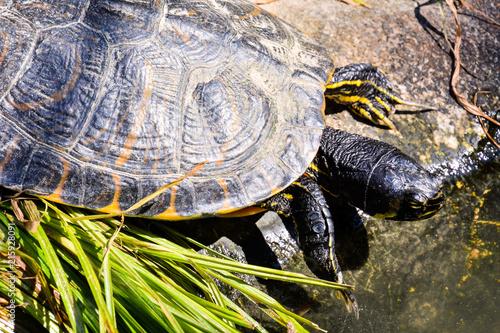 Foto Spatwand Schildpad Trachemys Scripta Elegans Tortoise