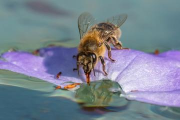 Honigbiene auf dem wasser
