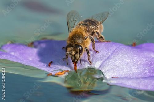 Leinwanddruck Bild Honigbiene auf dem wasser