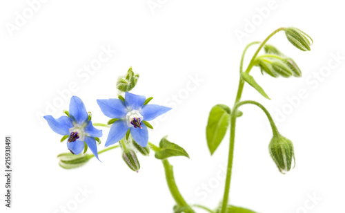 blue flowers of borage isolated