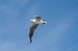 Goeland flying with wings spread from below
