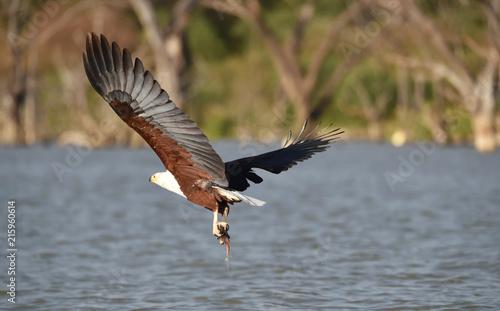 Canvas Eagle Afrikanischer Fischadler