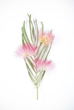 розовый цветок от дерева акация на белом фоне  - 215961447