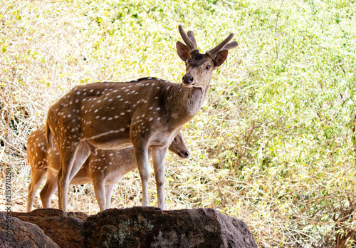 Aluminium Hert spotted deer looks in the forest