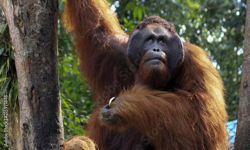 Leinwandbild Motiv orangutang in Borneo