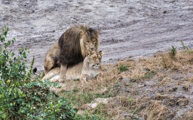 mating lions during safari