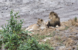 male and female african lion during safari