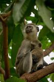 Vervet monkey mother hugging baby in tree