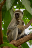 Vervet monkey mother holding baby in branches