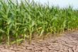 Leinwandbild Motiv Trockenes Maisfeld - Dry maize field