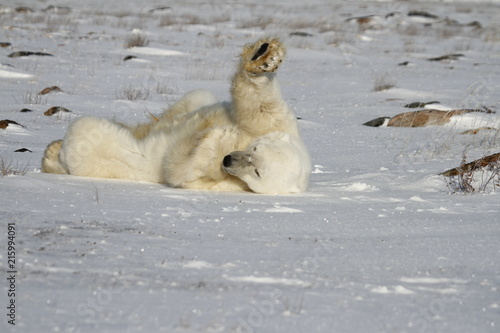 Canvas Ijsbeer Polar Bear, Ursus Maritimus, rolling around the snow on a sunny day, near the shores of Hudson Bay, Churchill, Manitoba, Canada