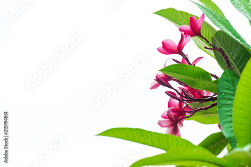 Canvas Plumeria rainy pink plumeria flower and tree on high-key white background