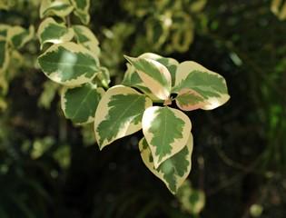 Hermosa planta de hiedra