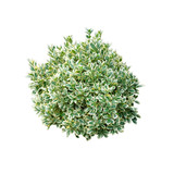 Green bush isolated on white background. Round ornamental bush. - 216005066