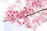 Soft focus beautiful sakura blossom, Phulomlo loei in Thailand - 216006219