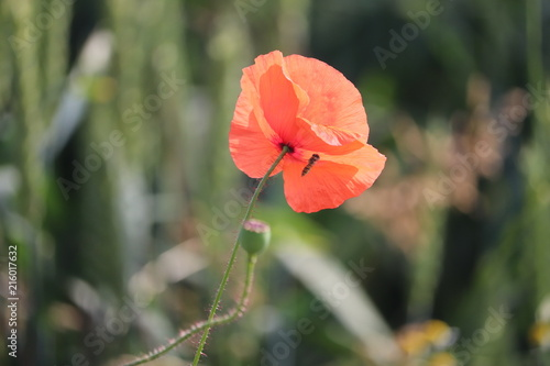 poppy english symbol of war and rememberance - 216017632