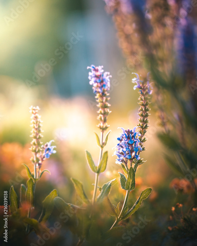 Foto Spatwand Lavendel Lavendel