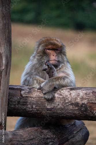 Foto Spatwand Aap Bored Monkey