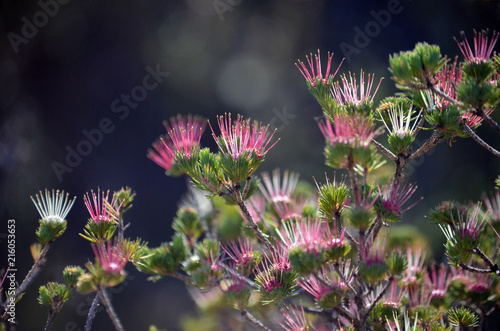 Red pink white flowers of the australian native clustered scent red pink white flowers of the australian native clustered scent myrtle darwinia fascicularis mightylinksfo