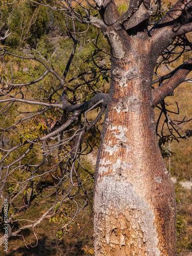 Foto Spatwand Baobab Baobab Tree