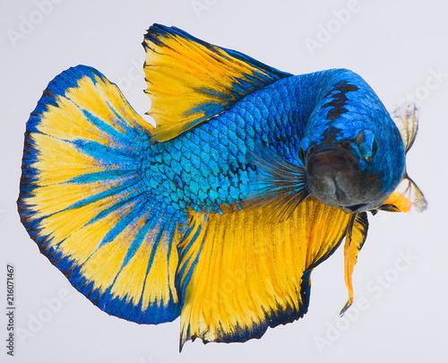 Foto Spatwand Papegaai Halfmoon betta fish, siamese fighting fish, Capture moving of fish, Betta splendens