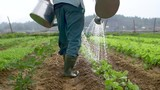 Traditional organic farmer waters crops with buckets in Asia (medium). Filmed (slow motion) in Vietnam on an organic farm. - 216077426