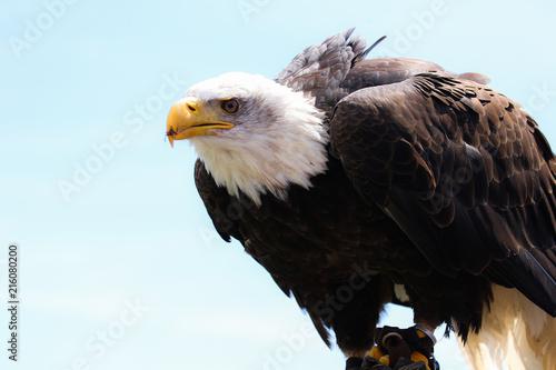 Canvas Eagle Bald Eagle