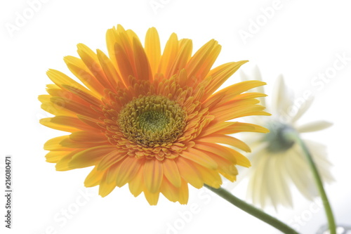 Foto Spatwand Gerbera yellow golden flower with white background isolated closeup