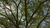 Camera pans left across leafy treetop from underneath to reveal sun. - 216085894