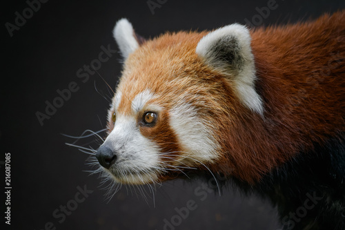 Fotobehang Panda Red panda in front of a dark background
