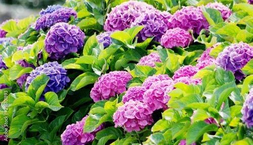 Foto Spatwand Hydrangea Bunte Hortensien