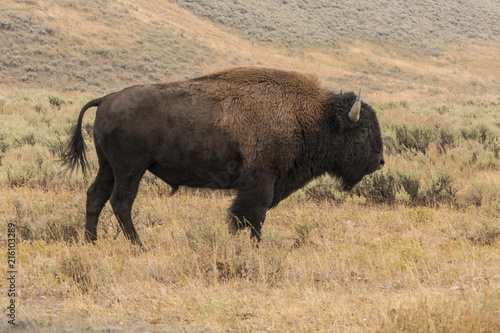 Canvas Bison Bisons, buffalo