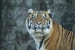 Tiger portrait (cap)