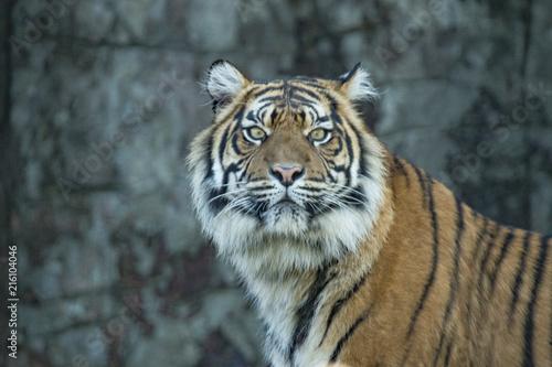 Canvas Tijger Tiger portrait (cap)