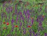 Field plants with red and purple flowers in full bloom