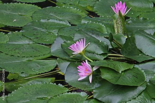 Yeşil yapraklar üzerinde  üç adet , lila renkli nilüfer çiçeği