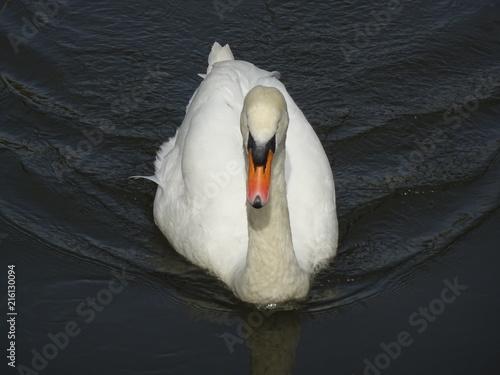 Canvas Zwaan Mute swan