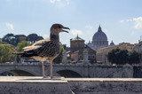 Seagull sitting on balustrade in Rome. In background is dome of Saint Peter's Basilica