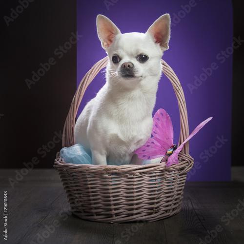 Chiwawa dal pelo bianco dentro un cestino di vimini decorato con una farfalla viola