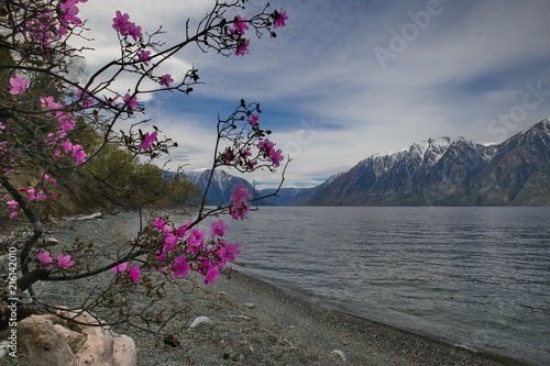 Foto Spatwand Donkergrijs Russia. The South of Western Siberia, spring Mountain Altai. Blooming maralnik (Rhododendron) on the shore of lake Teletskoye.