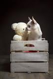 Chiwawa bianco in una cassetta di legno con un orsetto di peluche su sfondo nero