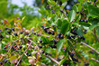Leinwandbild Motiv Apfelbeere - bunch of black chokeberry