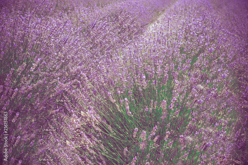 Beautiful lavender field, Long Island New York - 216151863