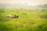 Wild endangered one-horn rhinoceros grazing in a grass field in Chitwan National Park, Nepal, during an elephant safari for tourists. - 216153653